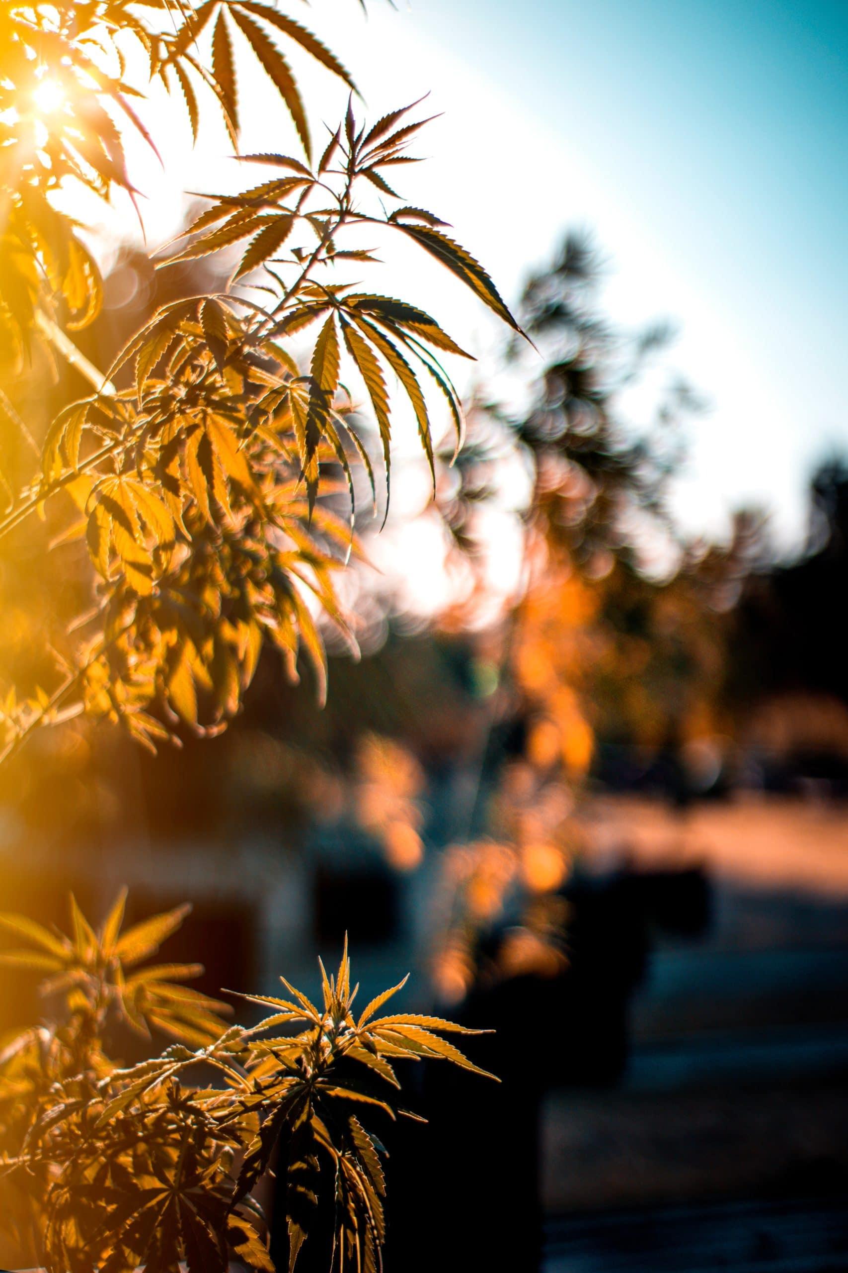 Fresh Air Organic Hemp